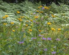 Wisconsin wildflowers (wplynn) Tags: wild flower wildflowers wildflower flowers bergamot sunflower rhinelander wisconsin wi moenlakechain moenlake fourth lake field meadow