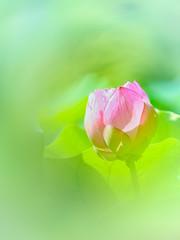 Lotus (Tomo M) Tags: flower nature summer 薬師池公園 bokeh green pink bud petal canon