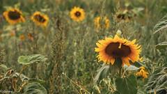 01082018-DSC_0009 (vidjanma) Tags: champ fleurs tournesols ardenne provence