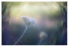 Bird's nest (leo.roos) Tags: daucuscarota wildcarrot birdsnest bishopslace queenanneslace wildepeen schermbloem flower flowers bloem bloemen schermbloemigen apiaceae umbelliferae parsleyfamily schermbloemen swirly a7 pangénieuxparisf50112 angénieux5012 projectorlens projectionlens 12 darosa leoroos