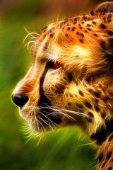 Artistic Profile of a Cheetah 6-0 F LR 5-6-18 J185_edited-1 (sunspotimages) Tags: animal animals nature wildlife bigcat bigcats cheetah cheetahs digitalmanipulation artistic artwork fractalius profile