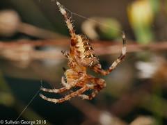Orb Weaver Spider (the.sullivan) Tags: orbweaver araneus spider macro gardenspider nature wildlife handheld microfourthirds photography hairy fangs