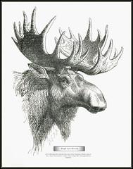s0547 6683 MeyA4B5 Kopf des Elens - Head of the Elk (Morton1905) Tags: s0547 6683meya4b5 kopfdeselens elenelch elenhirsch elentier alceshsmmeyerskonversationslexikon vierteauflage1886 distanzgeschäftbisfaidherbe headoftheelk