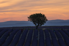 dusk (Smo_Q) Tags: provence france lavender field pentaxk3ii