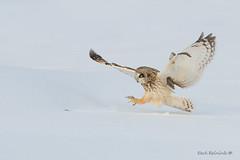 The trail tells the tale (Earl Reinink) Tags: bird animal nature outdoors flying wildlife earl reinink earlreinink raptor predator owl snow shortearedowl euodraudha feet wings