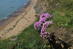 Thrift (JulieK (thanks for 8 million views)) Tags: armeriamaritima seapink thrift carnarvonbay fethardonsea coast wexford flora flower wildflowers pink grass sand sea ocean water 100flowers2018 canoneos100d seascape