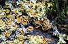 Lichen Colony 1 of 2 (Orbmiser) Tags: olympusmscedm60mmf28 macro mirrorless olympus oregon portland m43rds tree branch moss lichen