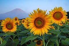 Summer Fuji and Sunflower (shinichiro*@OSAKA) Tags: 20180803sdim4429 2018 crazyshin sigmasdquattroh sdqh sigma1770mmf284dcmacrohsm august summer fuji flower lakeyamanaka yamanashi japan jp 花の都公園 向日葵 ヒマワリ sunflower 43936949421 3237922 201808gettyuploadesp