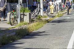 Weeds and grasses growing on Bloor Street (jer1961) Tags: toronto bikepath cycling bloorstreet bloorbikepath weeds pioneerplants