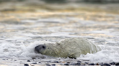 Grey seal / Kegelrobbe (www.natureinimages.com) Tags: grey seal kegelrobbe sea helgoland jungtier robbe