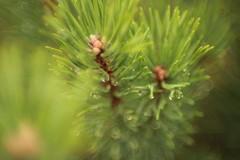 Green (izzistudio) Tags: green nature forest tree pine latvia summer izzistudio macro water drops botanical fd50 canon