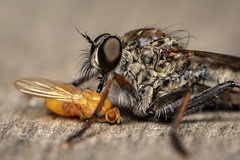 DSF_20800.jpg (christopher_west) Tags: macro 105mmf28 tc14e robberfly fruitfly