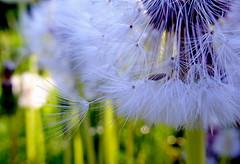 Let Go (C-Aida) Tags: nature macro seed dandelion summer zen tao meditation beauty