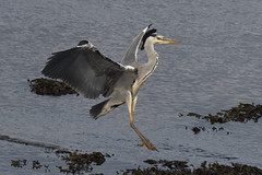 Gear Down. (stonefaction) Tags: grey heron birds nature wildlife scotland fife eden estuary guardbridge