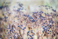 Seeds in the field (judy dean) Tags: judydean 2018 lensbaby seeds grasses field