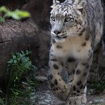 Snow leopard walking towards me thumbnail