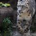 Snow leopard walking towards me