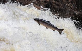 Sea trout leaping (Falls of Shin)