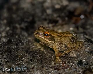 Juvenile European grass frog-Rana temporaria-6871