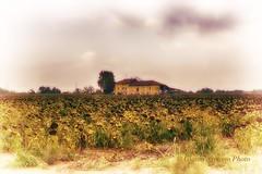 I girasoli sono il simbolo del sole, del caldo, dell'estate, tre condizioni in cui può crescere naturalmente. (Gianni Armano) Tags: igirasolisonoilsimbolodelsole delcaldo dell'estate trecondizioniincuipuòcrescerenaturalmentefoto gianni armano photo 1482018 san giuliano nuovo alessandria piemonte italia flickr