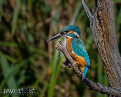 Kingfisher-Alcedo atthis-7739 (George Vittman) Tags: bird fish fisher color nikonpassion wildlifephotography jav61photography jav61 smileonsaturday uniflona