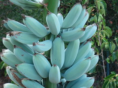 Musa Ice Cream aka Blue Java (meizzwang) Tags: musa ice cream blue java outdoors northern california bay area peninsula cold hardy banana harvest cultivation real deal