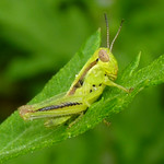Grasshopper nymph thumbnail