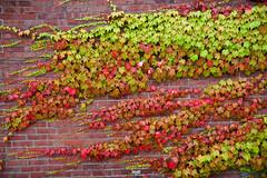 Colorful Leaves on a Wall- Damariscotta (appliguy89) Tags: maine coast damirascotta leaves mainecoast