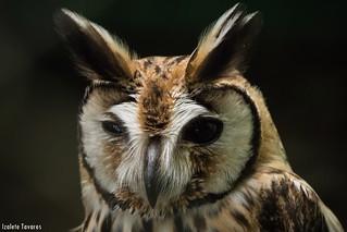 Parque dos Falcões / coruja-orelhuda (Asio clamator)