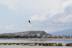 Cagliari (CarloAlessioCozzolino) Tags: cagliari sardegna sardinia saline saltworks parcodimolentargius animali animals uccelli birds cavaliereditalia himantopushimantopus