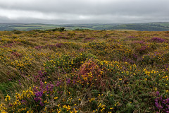 Exmoor trails.... (northdevonfocus) Tags: exmoornationalpark exmoor forelandpoint northdevon northdevoncoast heather purple moorland landscape landscapephotography