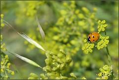 Alone (Armelle85) Tags: extérieur nature flore fleur vert insecte animal coccinelle macro
