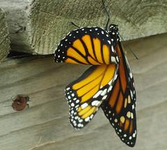 Flamenco Dancer (jameskirchner15) Tags: danausplexippus butterfly monarch insect orange macro closeup michigan pentax tamronmacrolens wings nature