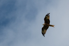 Kite flying over the Chilterns (Anthony P.26) Tags: animalsbirdsinsects birds brillwindmill buckinghamshire category england places travel tamron70300 canon70d canon bluesky birdinflight flying wildlife redkite