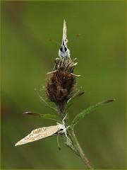 Brown Arguses in the rain - Prestbury Hill (glostopcat) Tags: brownargusbutterflies butterflies insects invertebrates august summer macro butterflyconservation prestburyhillnaturereserve