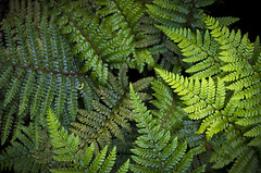 Shades of Green (s.d.sea) Tags: green fern shades color tone texture plant plants ferns fronds garden issaquah pnw pacificnorthwest washington washingtonstate klahanie pentax k5iis spring moody