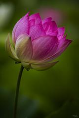 Echo Park Lotus 4 (Tongho58) Tags: lotus echopark losangeles flowers