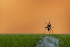 ant on the gerbera daisy stem (austindca) Tags: ant