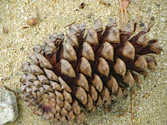 Pine Cone On Sand. (dccradio) Tags: lumberton nc northcarolina robesoncounty outdoor outdoors outside lutherbrittpark park citypark rock stone pinecone cone pineneedle sand dirt fallen grounded canon powershot elph 520hs