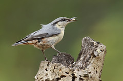Trepadeira-azul / Eurasian Nuthatch (Sitta europaea) (Marina CRibeiro) Tags: portugal setúbal alambre ave bird passeriforme trepadeiraazul eurasiannuthatch sittaeuropaea sittidae