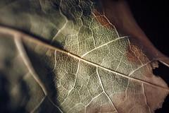 Decay (simonpe86) Tags: leaf macromondays leaves macro decay mm monday