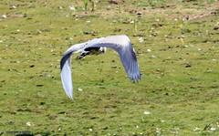 J78A0186 (M0JRA) Tags: birds flight flying wildlife rats walks gardens parks fields trees lakes ponds ducks swans rspb