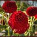 Red Puff Ball Dahlia