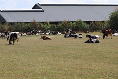 Rest we need it All !!! (excellentzebu1050) Tags: dairycows cow cattle animal field farm farmer drought livestock coth coth5 sunrays5