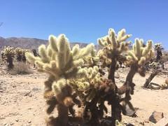 Cactus at Joshua Tree National Park (Creusaz) Tags: usa cactus joshua tree national park