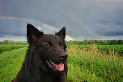 rainbow dog 🌈 🐶 (Jos Mecklenfeld) Tags: totoro dutchshepherddog dutchshepherd hollandseherder hollandseherdershond shepherd herder herdershond dog hond rainbow regenboog regen rain sonyxperiaz5 xperia