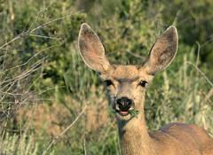 Leafy Greens - yummm (AmyEHunt) Tags: muledeer doe deer grass shrubs bushes mammal animal wild wildlife nature colorado canon eyes portrait
