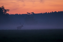 Stag at dawn (adambotond) Tags: stag reddeer deer cervuselaphus animal ruminant mist morning outdoor europe hungary magyarország summer somogy stvsz wildlife wild wildlifephotography wilderness wildanimal nature naturephotography field sunrise silhouette adambotond canon canoneos1dx canonef400f4doisiiusm tripod magyar forest landscape landscapephotography grass tree
