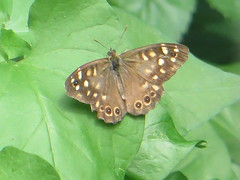 specled wood visitor (river crane sanctuary) Tags: speckled wood butterfly rivercranesanctuary