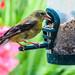 American Goldfinch - Chardonneret jaune